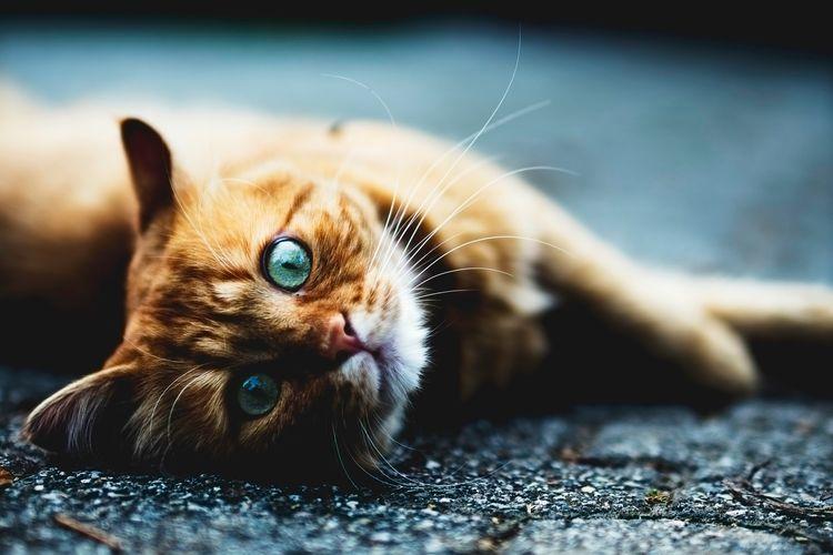 коронавирус у кошек вирусоносительство