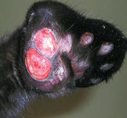 Фото 5. Мастоцитома в области подушечки лапы (фото С.Беловой)