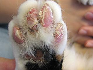 Фото 6. Поражения пальцевых подушечек при листовидной пузырчатке.(фото С.Беловой)